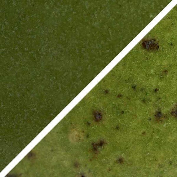 Basilikum grüne Glasur ohne und mit Spots, die wie Sommersprossen durch die Glasur schimmern